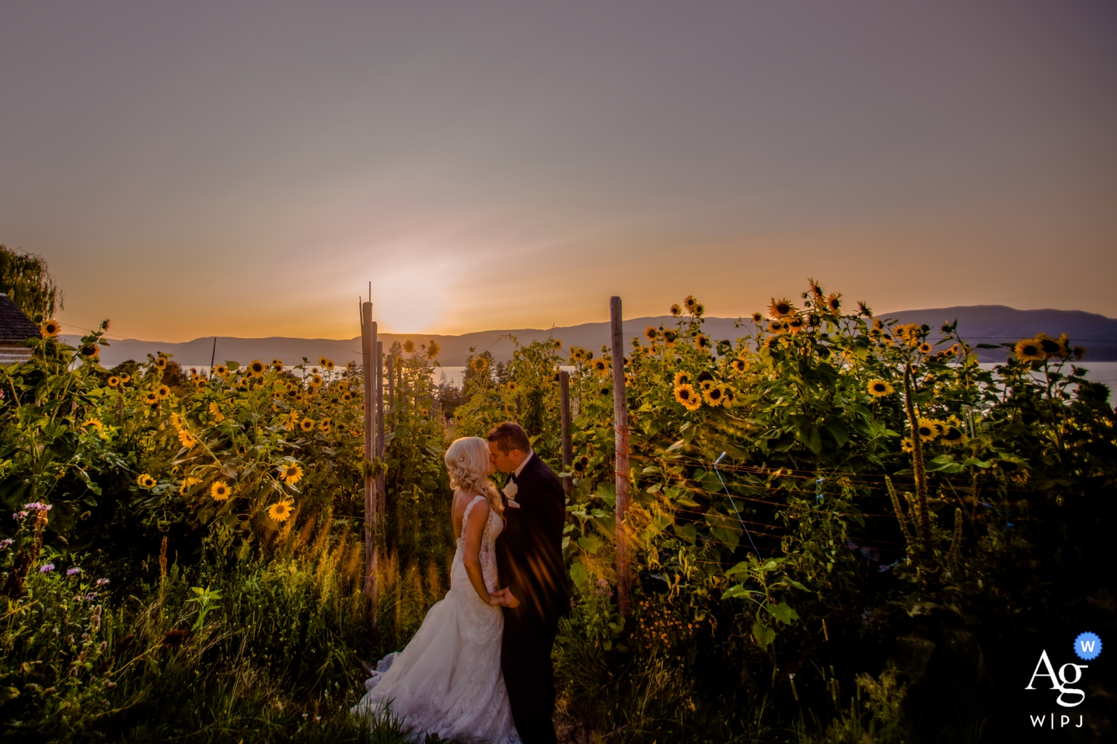 Wedding portraits at Summerhill Pyramid Winery | Couple kissing among the sunflowers