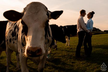 England Home farm engagement portrait avec une vache de mauvaise humeur