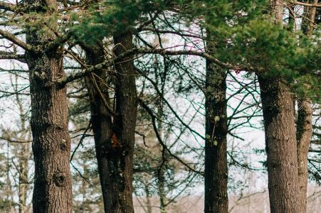 Stowe, VT pre-wed portret van een kussend stel onder de pijnbomen