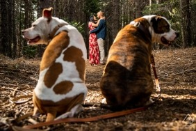 Engagement Photographer in a Forest in Alta, California - Pit Bull Pittys framing their mom and dad both looking in opposite directions