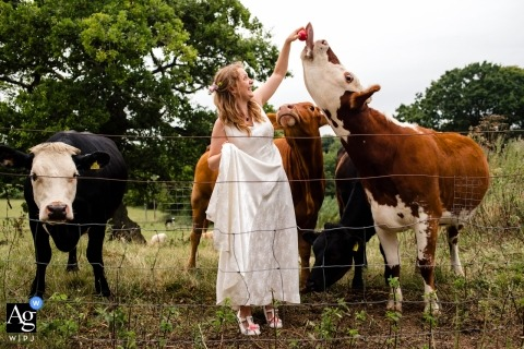 Wedding photography from Folly Farm Centre, Bristol | The bride feeds apples to cows