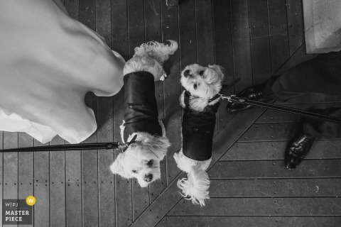 Black and white photo of two small dogs dressed up for the ceremony and held by the bride and groom by a New South Whales, Australia wedding photographer.