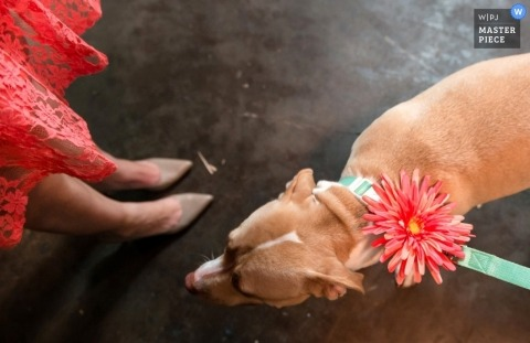 Santa Barbara wedding photographer captured this photo of a dog dressed up for the occasion with a flower in her collar