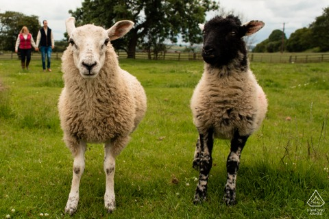 Portrety zaręczynowe pary z Anglii Family Farm na pastwisku ze zwierzętami