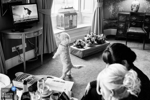 Stubton Hall, Newark, UK wedding photography | The bride & groom's dog reacting to the appearance of a cat on the TV during bridal prep.