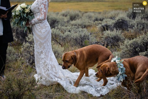 Big Sky, Montana marriage ceremony award-winning image showing dogs on dress during outdoor vow exchange - from the world's best wedding photography competitions presented by the WPJA