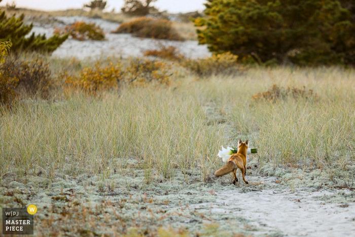 狐狸在威奇米爾海灘俱樂部的婚禮期間偷新娘的花束