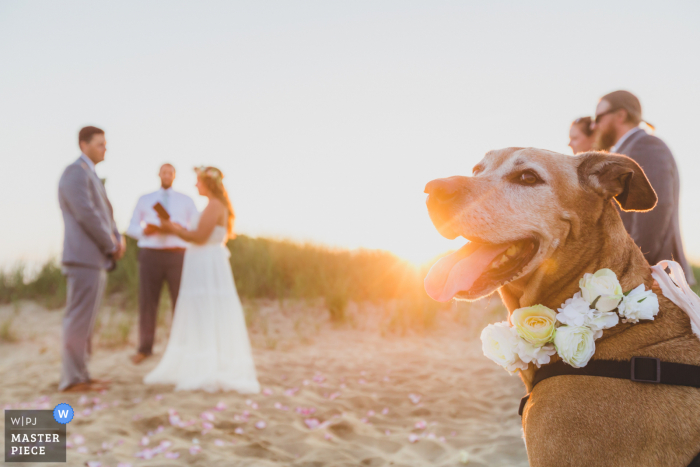 Sunset beach wedding photo from Clark's Cove, Nantucket Island, MA of One of the 'flower girl' pups watching the ceremony