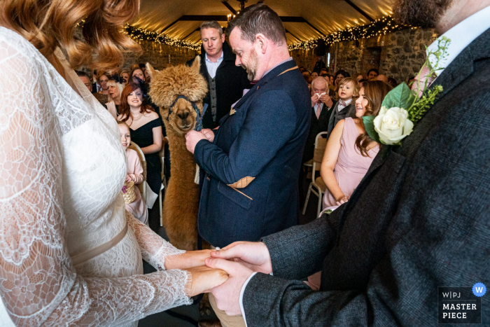 Vlaams Brabant wedding photographer travelled to take pictures in Ireland	of an Alpacca ring bearer