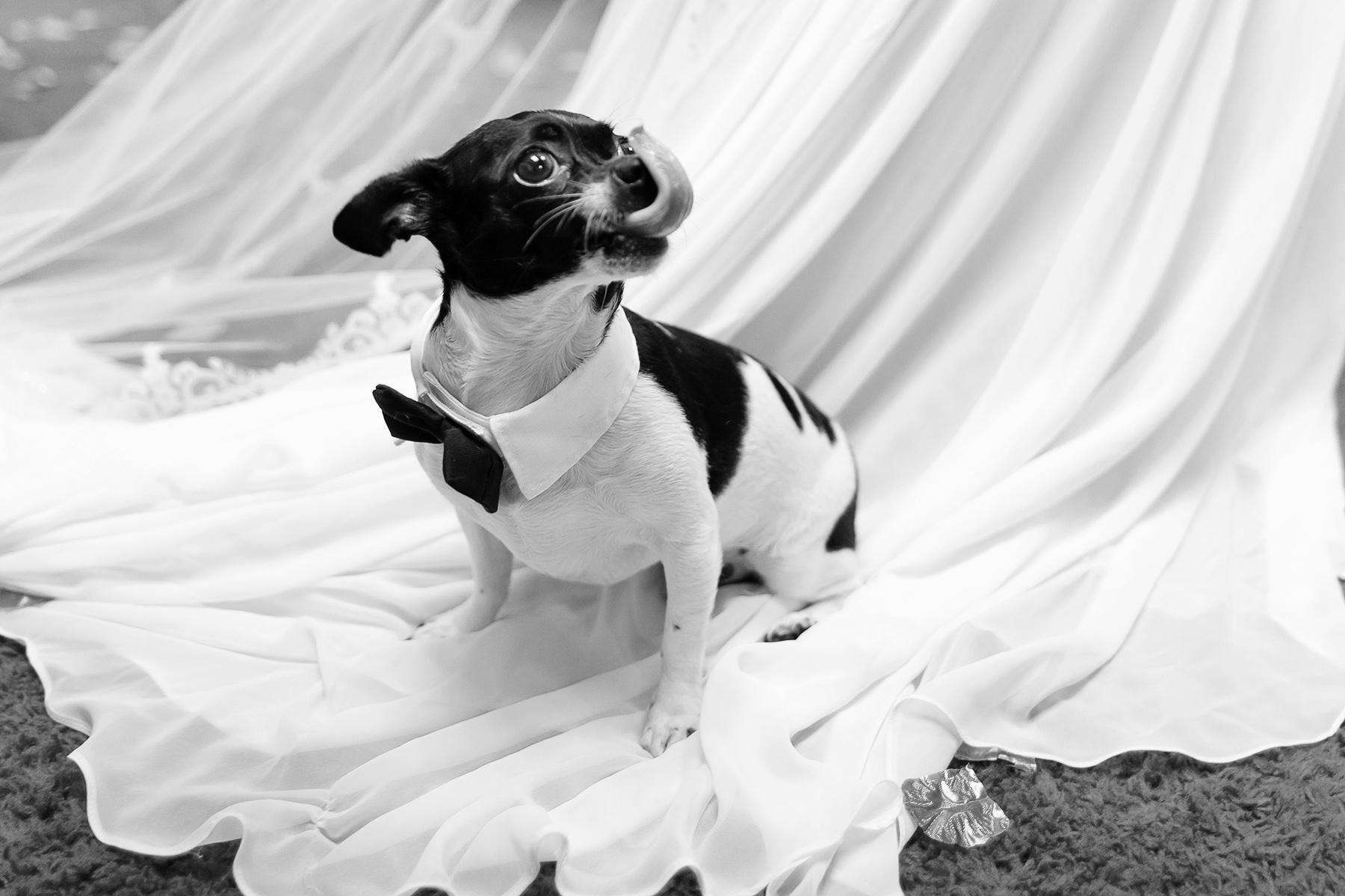 Canine Backyard Wedding Photos | a Chihuahua, sits on the bride's wedding dress